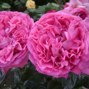 roza-santifoliya
